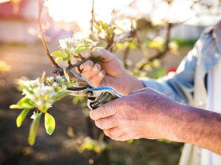 Praca przy przycinaniu jabłoni/grusz - Belgia